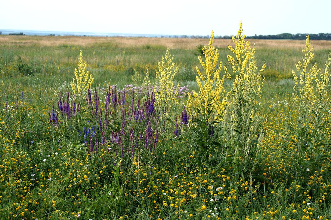 луговые травы краснодарского края фото и названия зависимости
