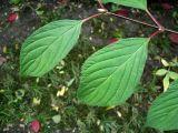 Viburnum × bodnantense