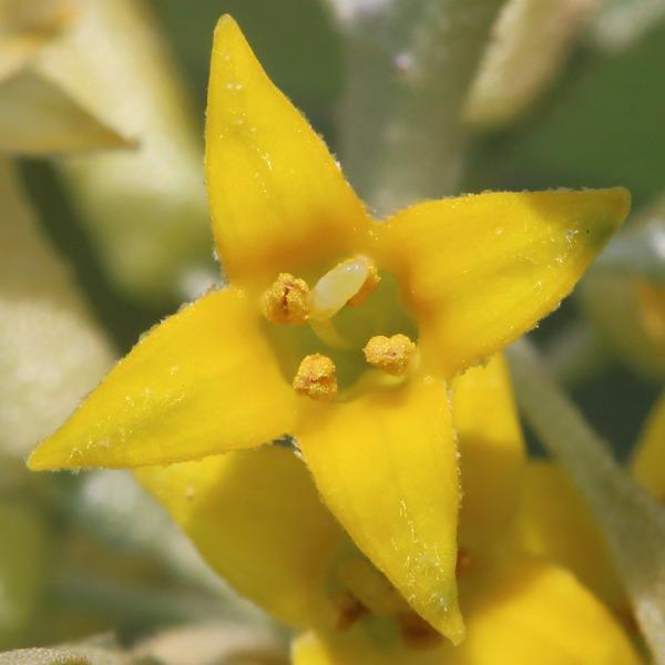 Лох узколистный (Tanacetum achilleifolium)
