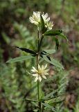 Trifolium spryginii