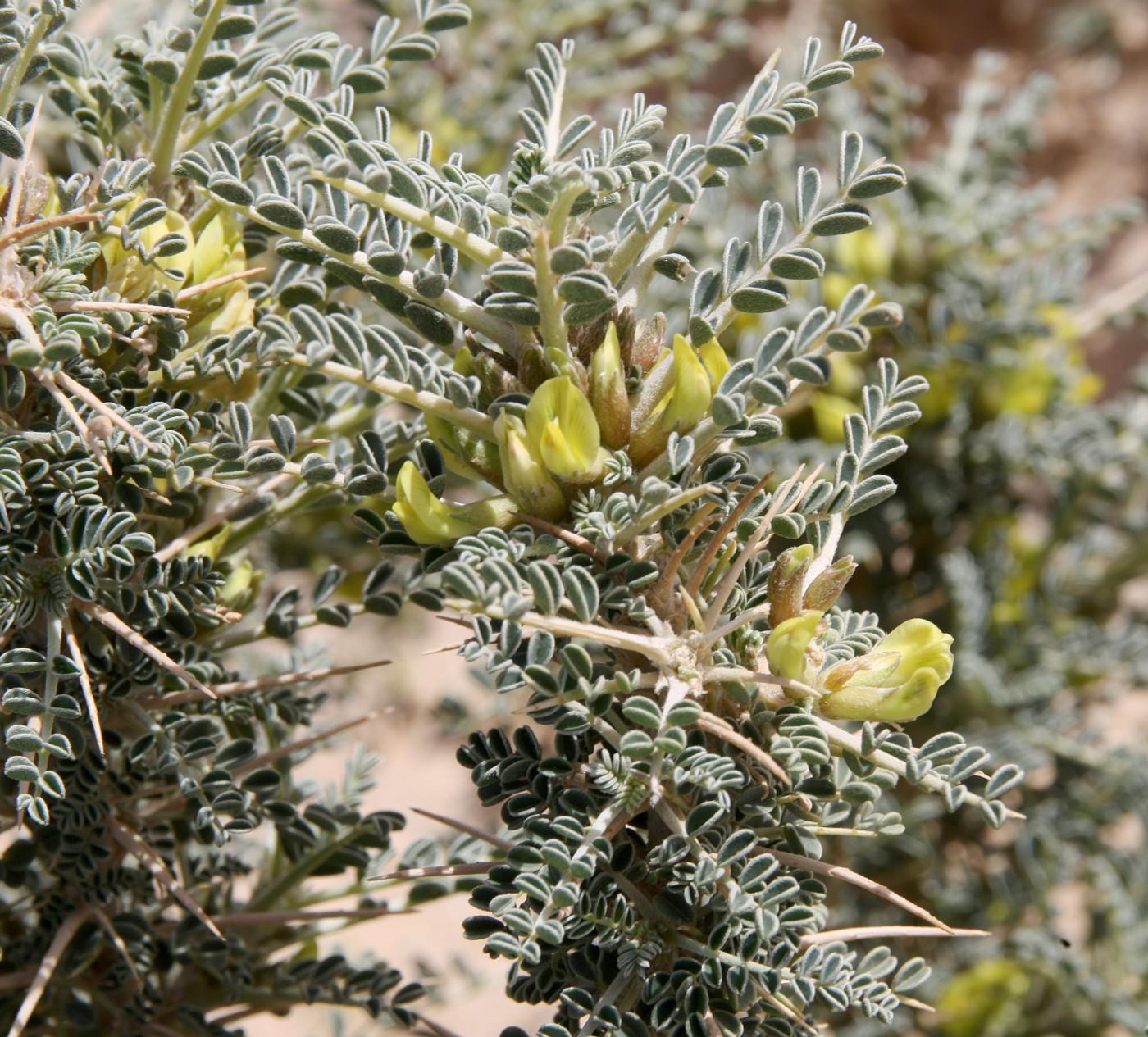 Изображение растения Astragalus trigonus.