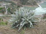 Cirsium argillosum