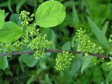 Celastrus orbiculata