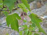 Acer semenovii