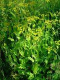Bupleurum longifolium ssp. aureum