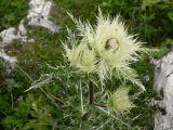 Cirsium obvallatum