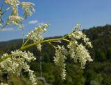 Aconogonon alpinum
