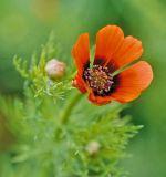 Adonis parviflora