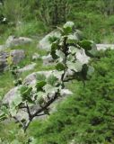 Ribes orientale