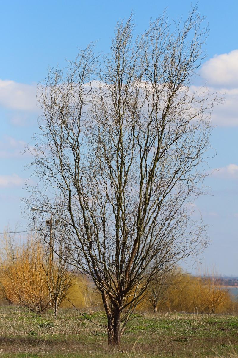Ива Матсуды (Salix matsudana)