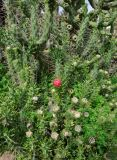 род Cylindropuntia