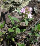 Thymus × dimorphus