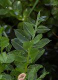 Plagiomnium medium