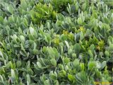 Salix rhaetica