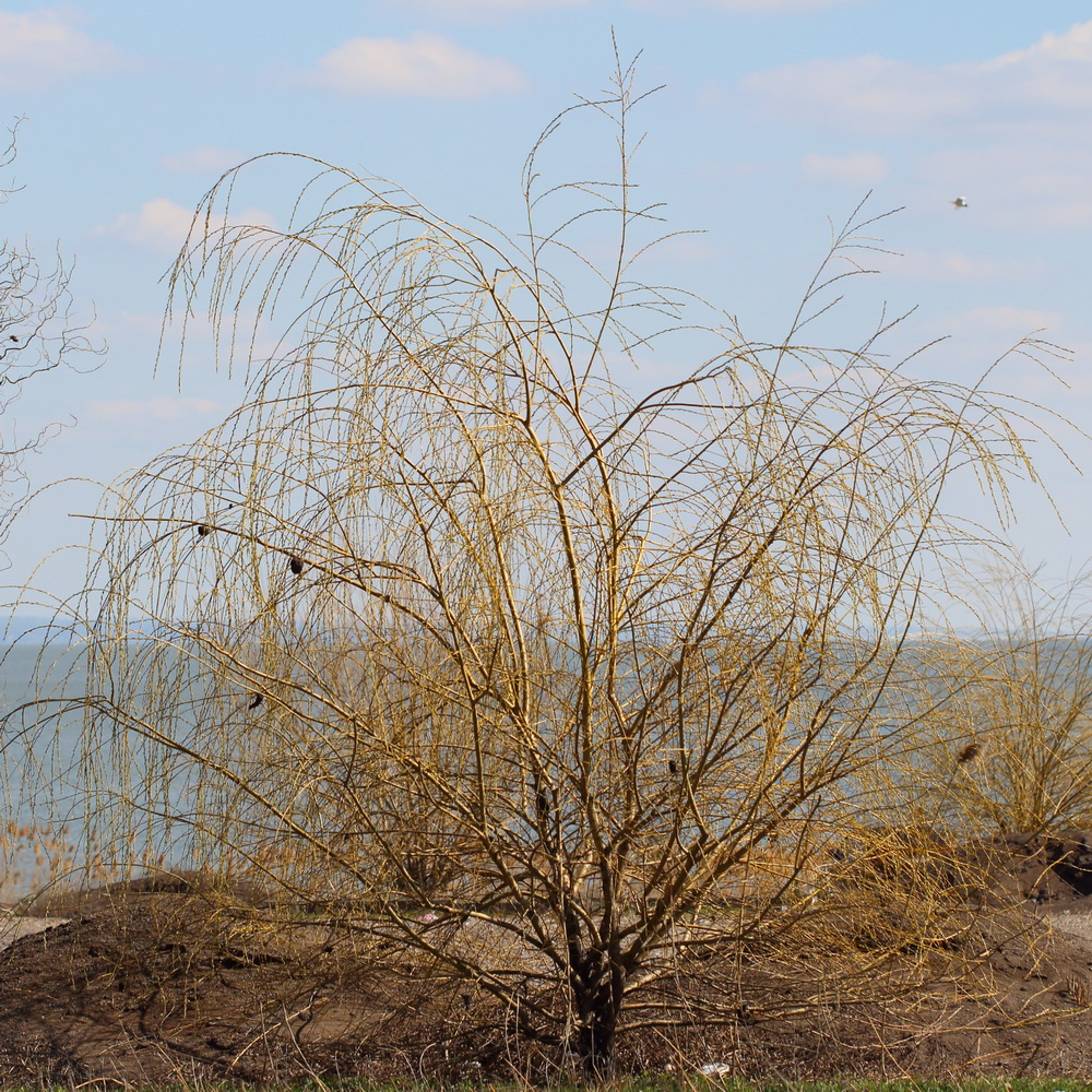 Ива белая (Salix alba)