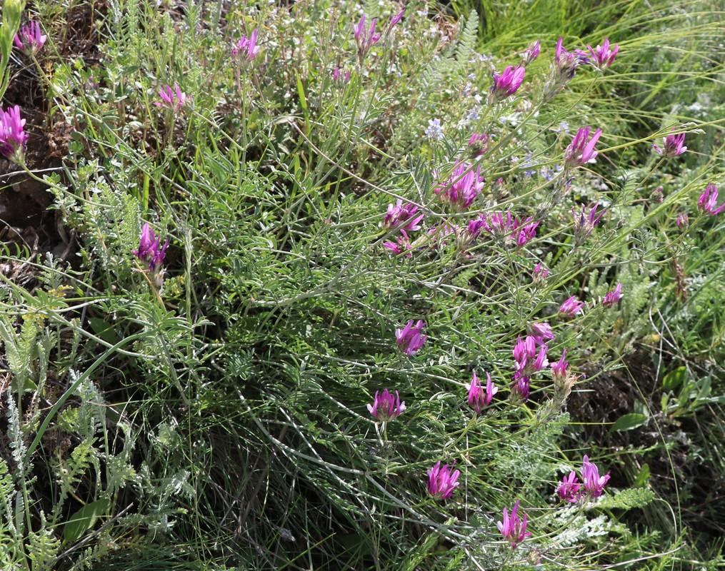 Изображение растения Astragalus conspicuus.