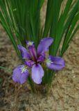 Iris pontica