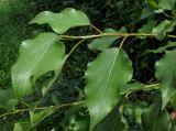 Populus × jrtyschensis