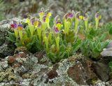 Scutellaria subcaespitosa