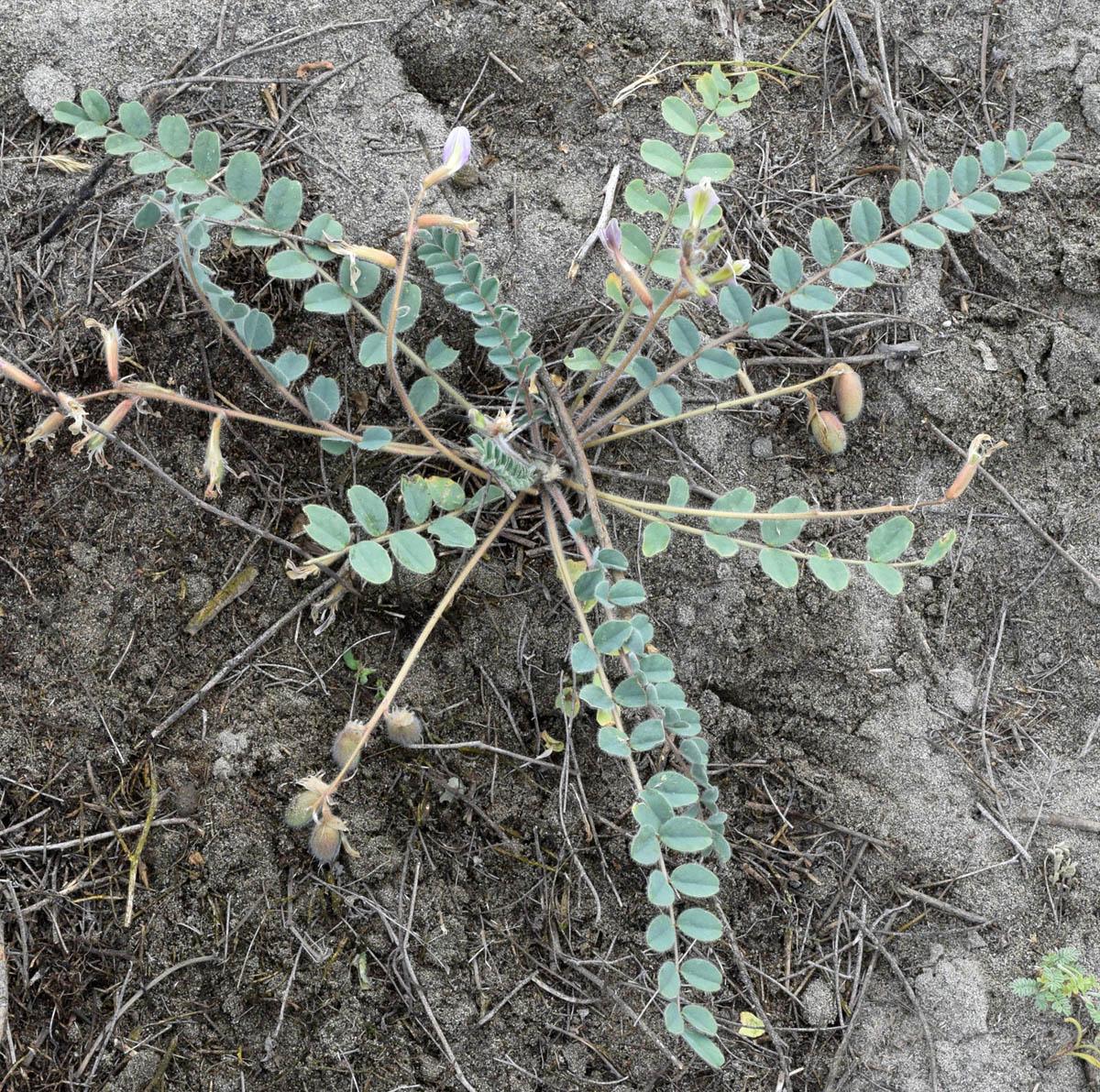 Изображение растения Astragalus rubellus.