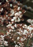 Cerasus sachalinensis
