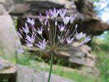 Allium cupuliferum