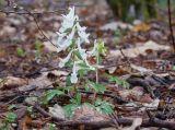 Corydalis caucasica
