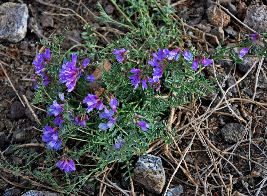Изображение растения Vicia macrantha.