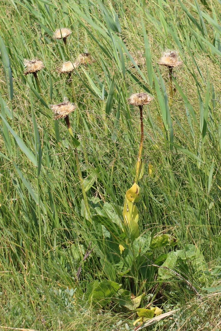 Большеголовник серпуховидный (Stemmacantha serratuloides)