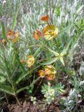 Euphorbia leptocaula