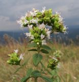Origanum vulgare ssp. viride