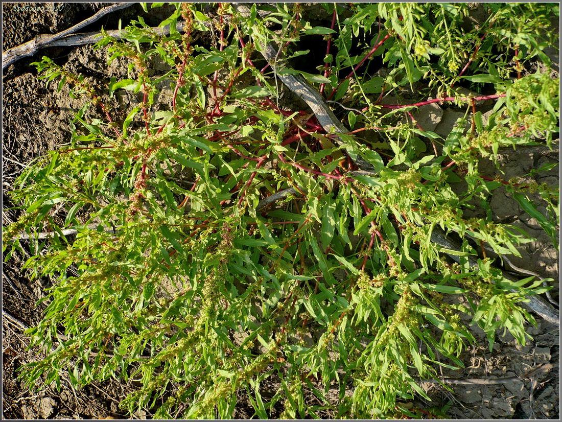 Щавель украинский - Rumex ucranicus - Изображение растения ...