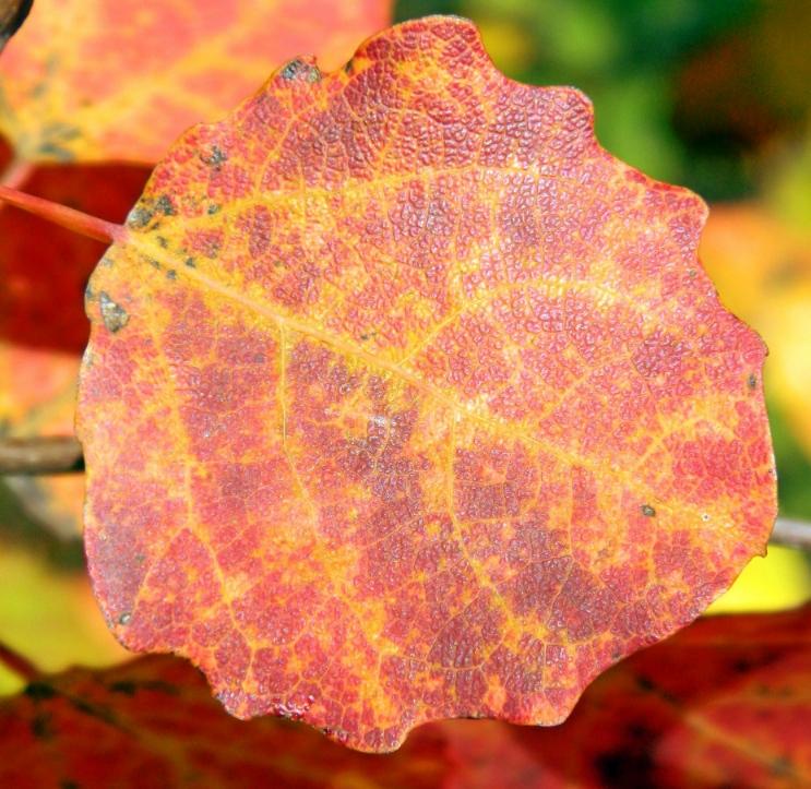 Осиновый лист картинки осенью