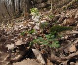 Corydalis teberdensis