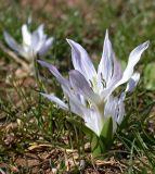 Colchicum sibthorpii
