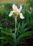 Iris glaucescens