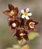 Androsace maxima
