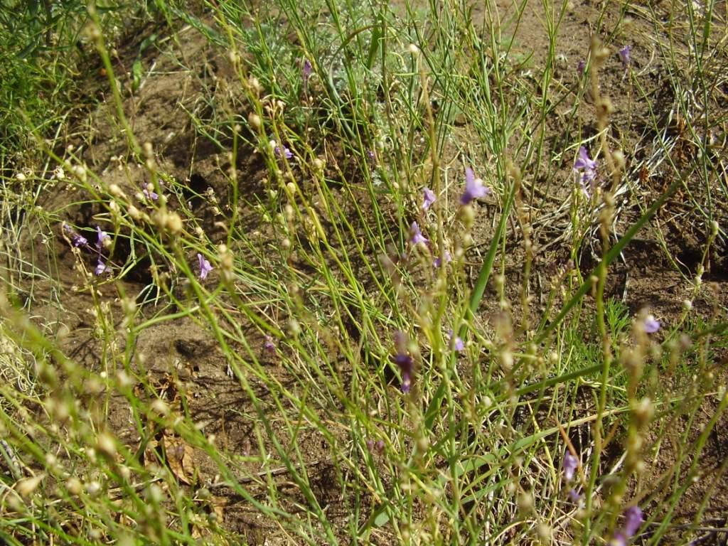 Изображение растения Linaria volgensis.