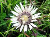 Carlina cirsioides
