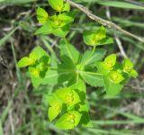 Euphorbia oxyodonta