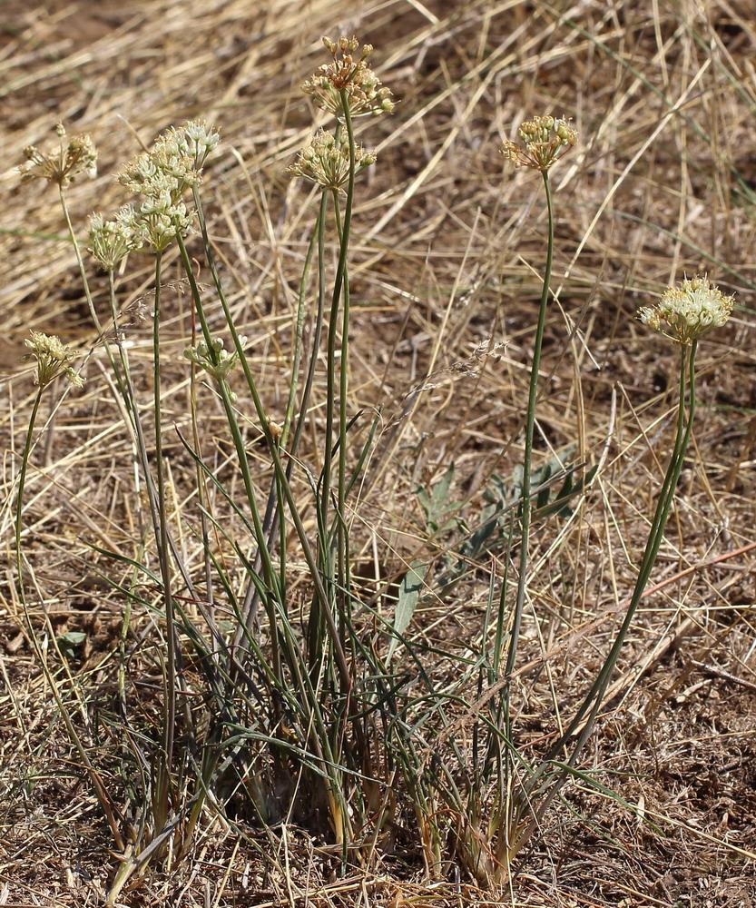 Лук желтеющий (Allium flavescens)