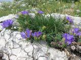 Edraianthus tenuifolius