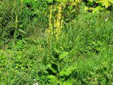 Verbascum nigrum