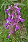 Dactylorhiza salina