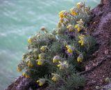 Onosma polyphylla