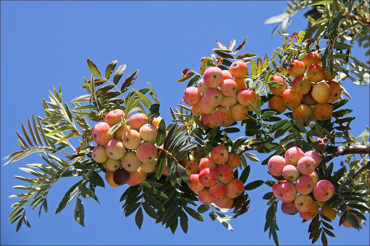 Крымская крупноплодная рябина, листья, как у акации, плоды похожи на мелкие румяные груши. Вкус терпкий, вяжущий, сильный аромат. Регулируют артериальное давление