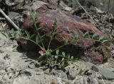 Astragalus oxyglottis