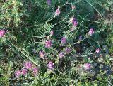 Astragalus bungeanus