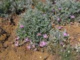 Psephellus marschallianus