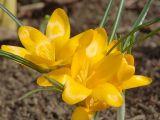 Crocus × luteus